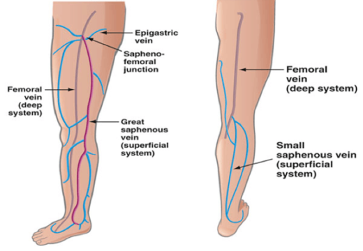 Palisades Vein Center Superficial Vein Anatomy